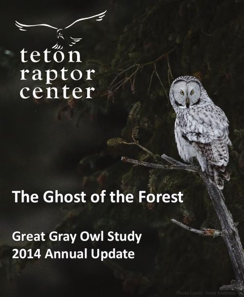 Great Gray Owls in Jackson Hole