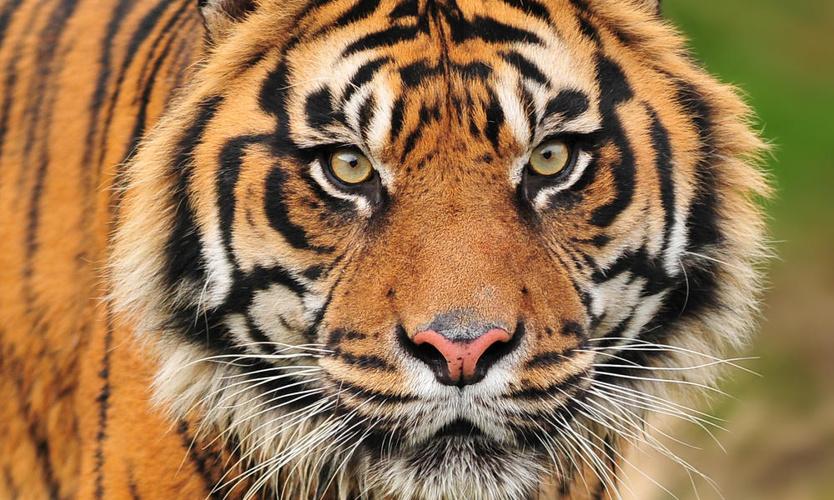 sumatran-tiger-circle_44312149