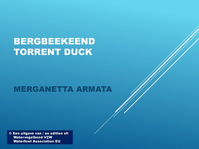 Bergbeekeend - Torrent duck