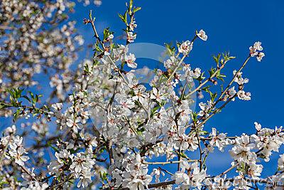 almond-flowers-spring-spain-38732375