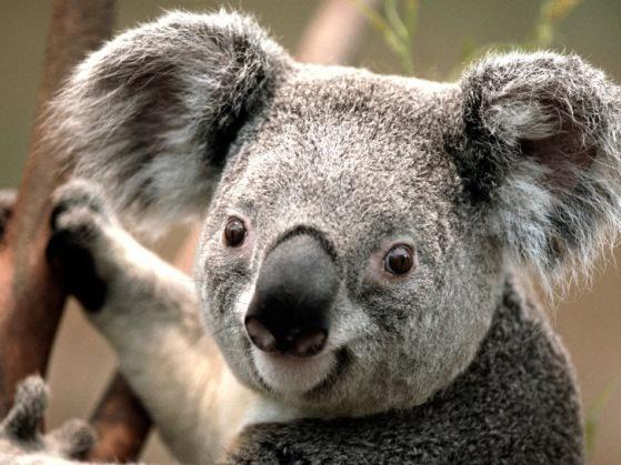 Den ensamma koalan