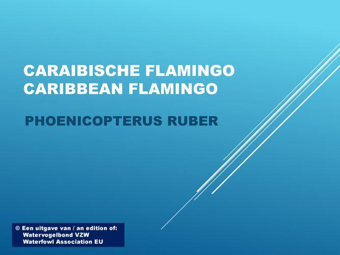 Caraibische flamingo - Caribbean flamingo