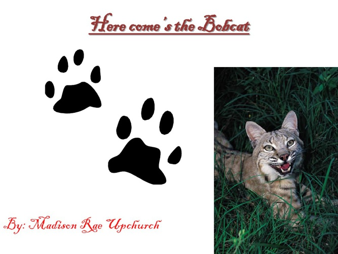 Madison's Bobcat