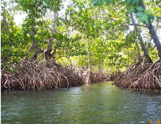 Mangrove Swamp Bernay (5)