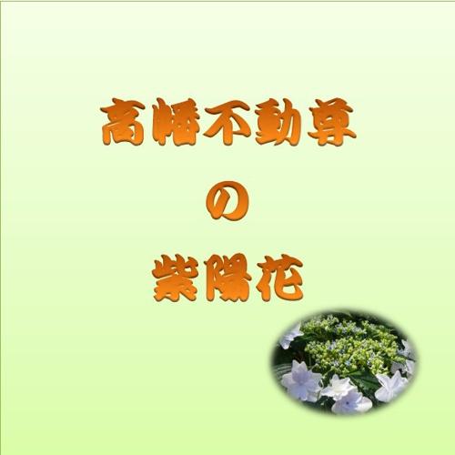 1高幡不動尊の紫陽花