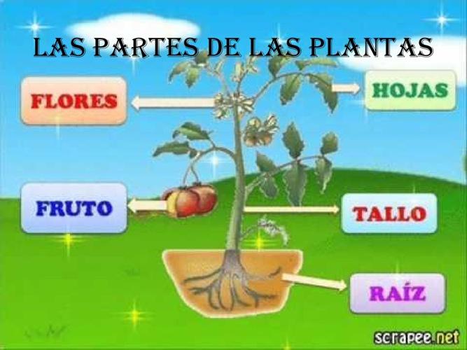 LAS PARTES DE LAS PLANTAS