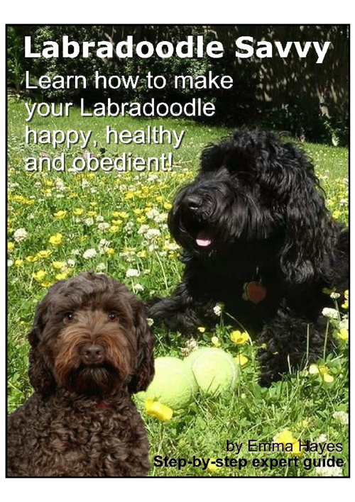 A guide to looking after labradoodles