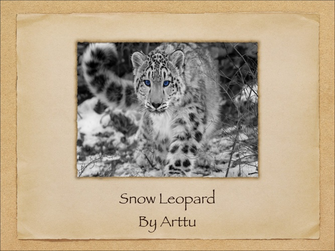 All About Snow Leopards