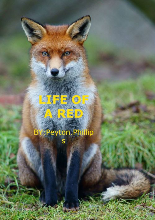 life of the red fox