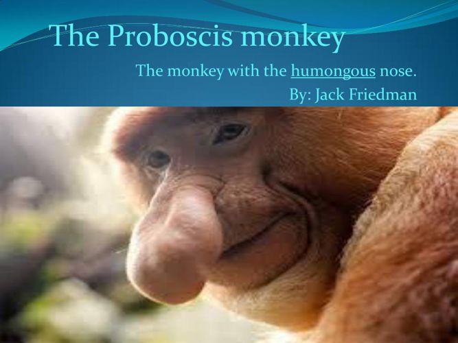 PROBOSCIS MONKEYS- Jack Friedman