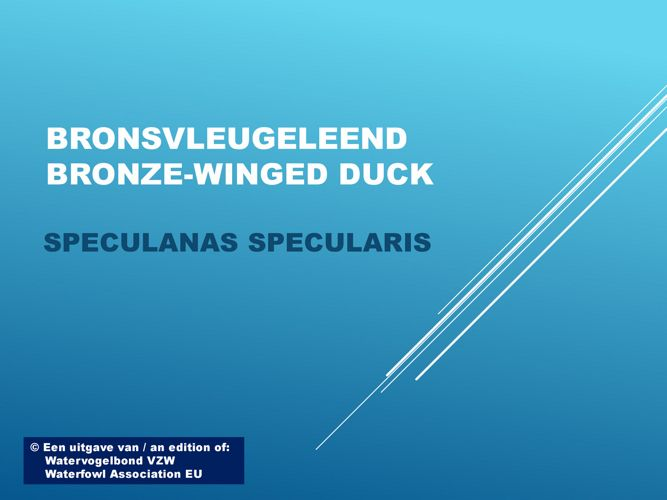 Bronsvleugeleend - Bronze-winged duck
