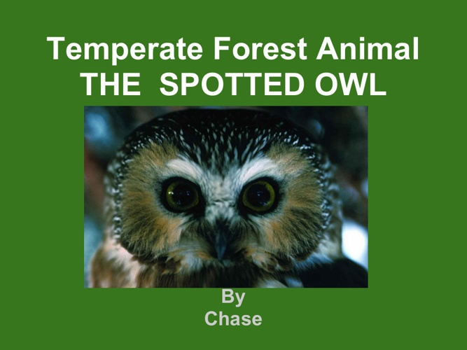 Chase spotted owl