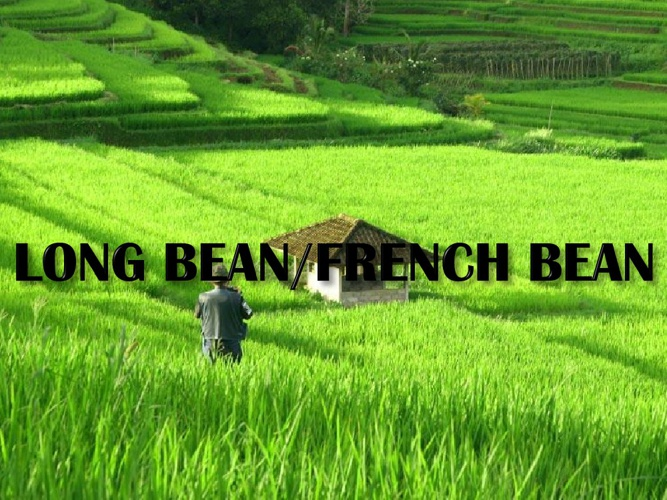 CHAPTER 3: Topic 8 (Long & French Beans)