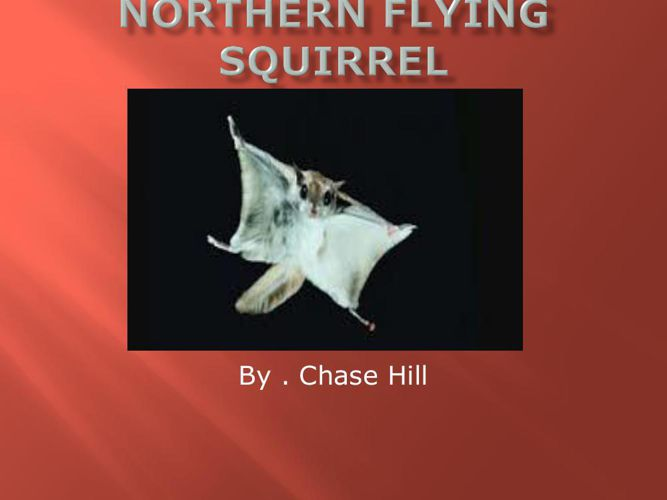 Chase Northern flying squirrel