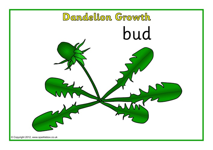 Dandelion Growth Posters