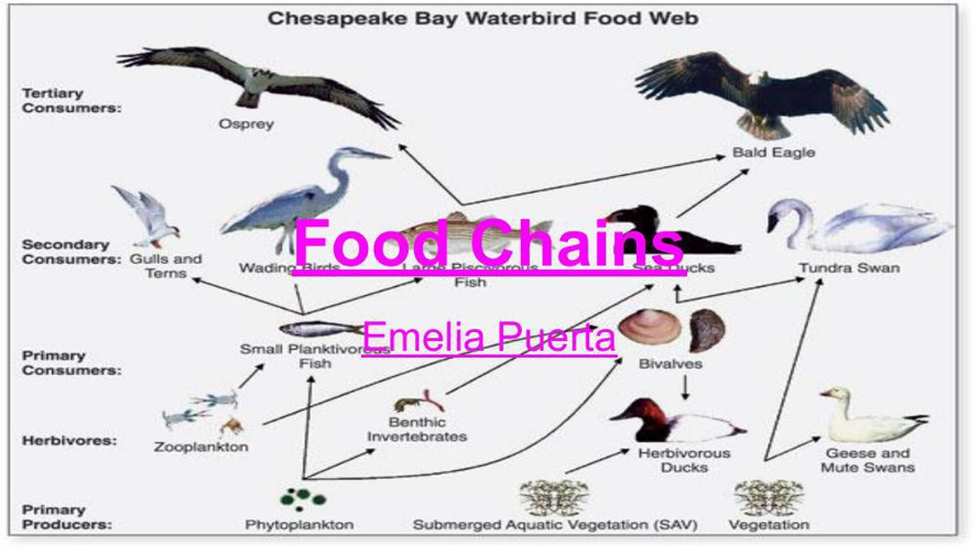 Emelia's Food Chain Flipbook Template