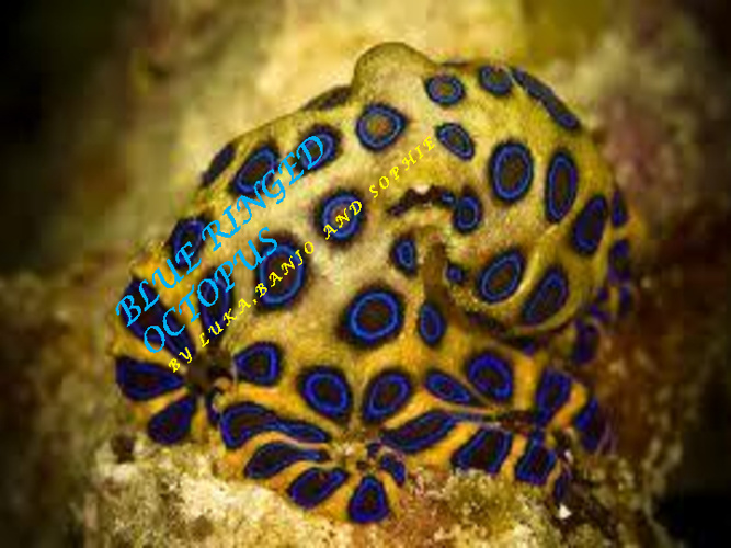 Blue Ringed Octopus by Banjo, Luka and Sophie