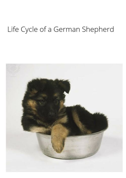Life Cycle of a German Shepherd
