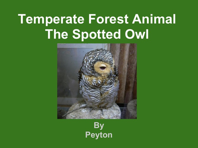 Peyton Spotted Owl