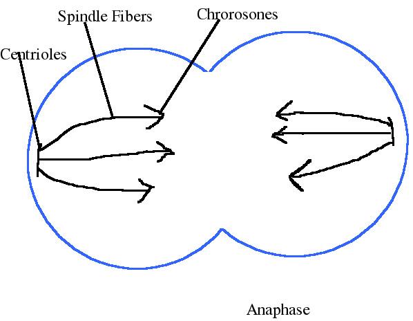 Mitosis~Life Science