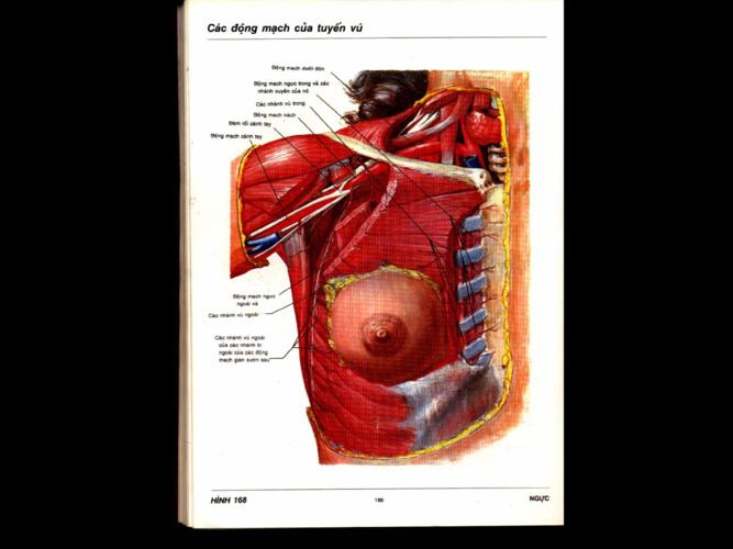Giải phẫu ngực