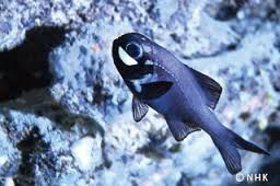 Flashlight Fish
