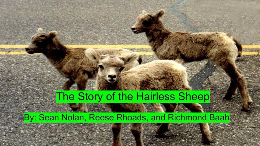 Children's Book_The Hairless Sheep (3)