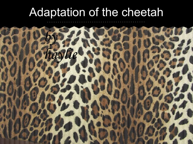 cheetahs adaptations