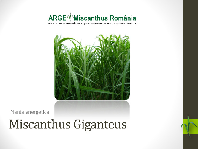 Detalii Miscanthus Giganteus