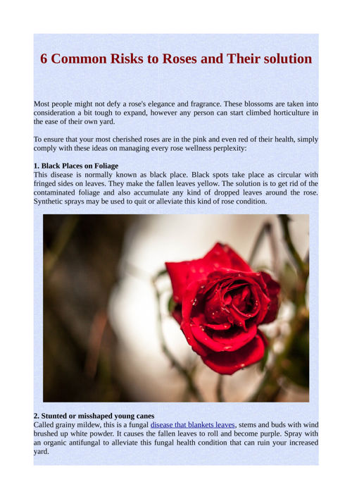 6 Common Risks to Roses and Their solution