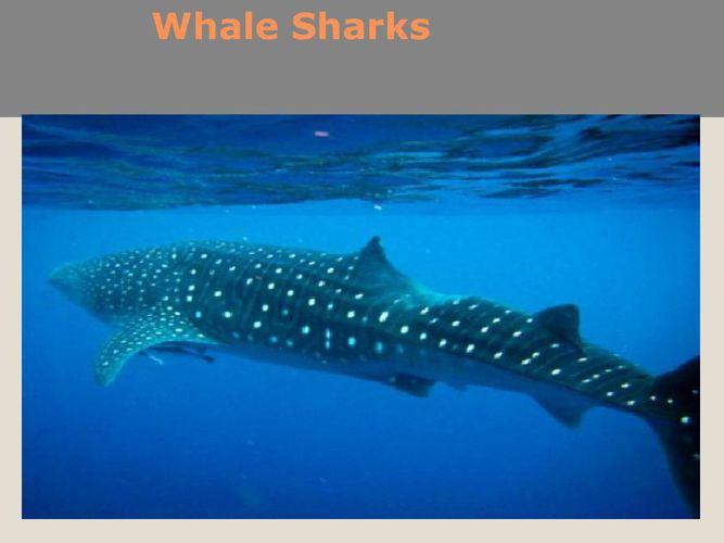 Whale Sharks Kirsten