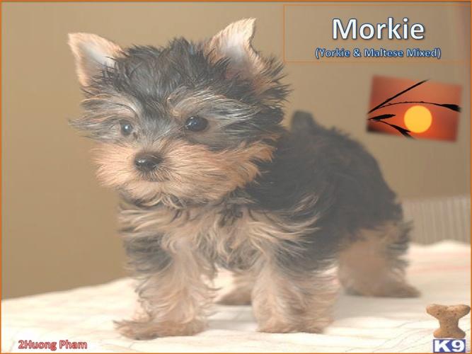 My Morkie Flipbook