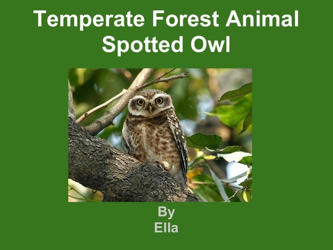 Ella spotted owl