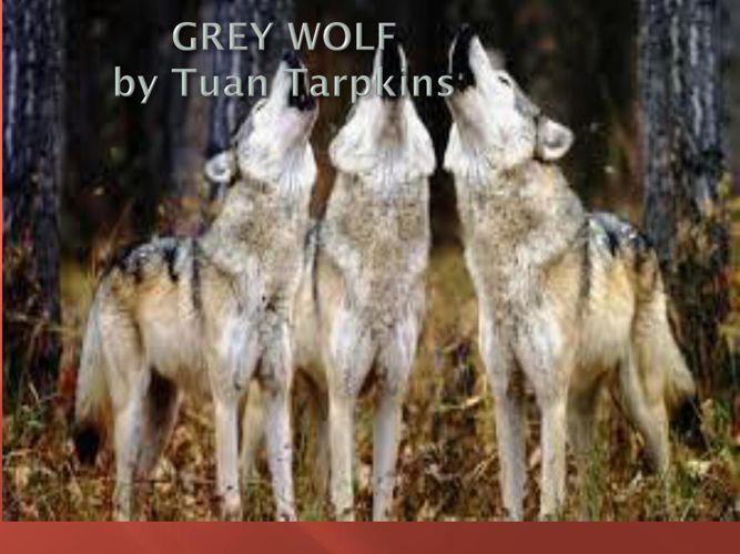 tuan grey wolf