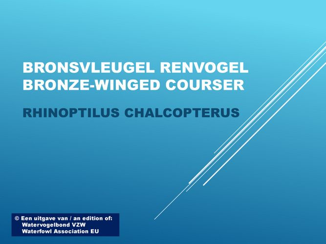 Bronsvleugel renvogel - Bronze-winged courser