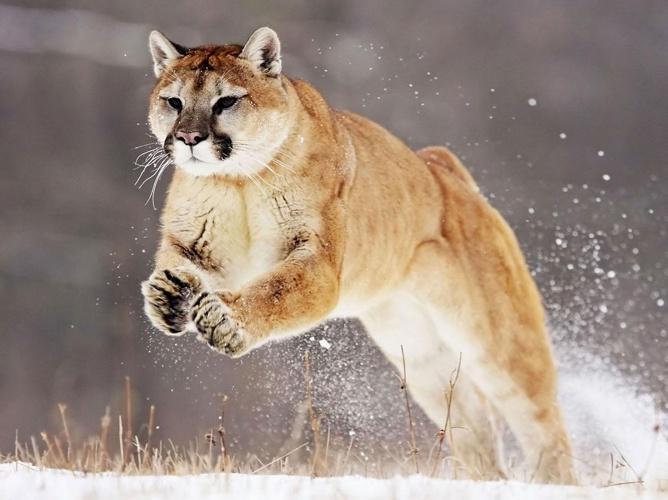 The Amazing Puma