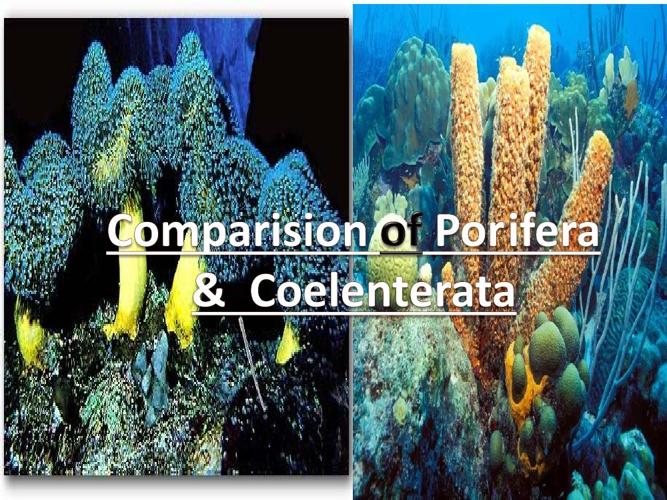 Comparision of Porifera & Coelenterata
