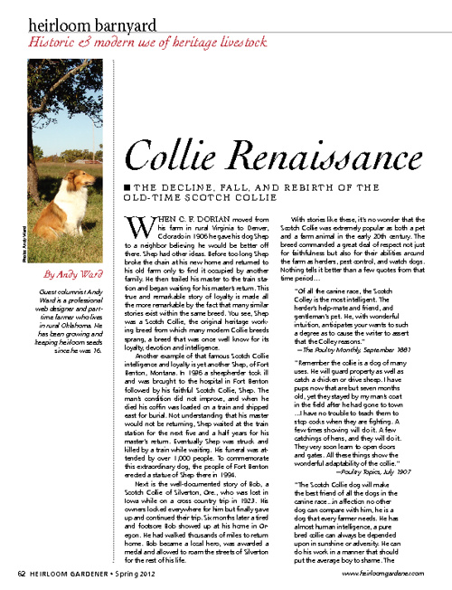 Scotch Collie Article