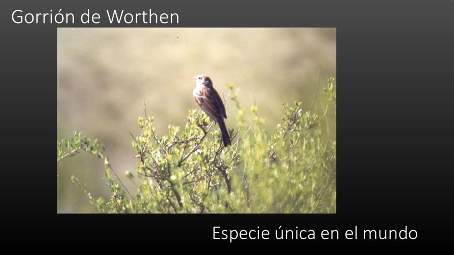 Gorrión de Worthen