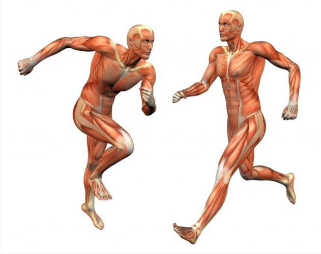 The Muscular System in You