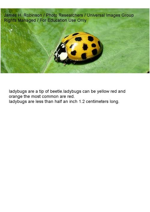 life cycle of a ladybug