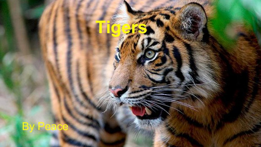 About Tigers