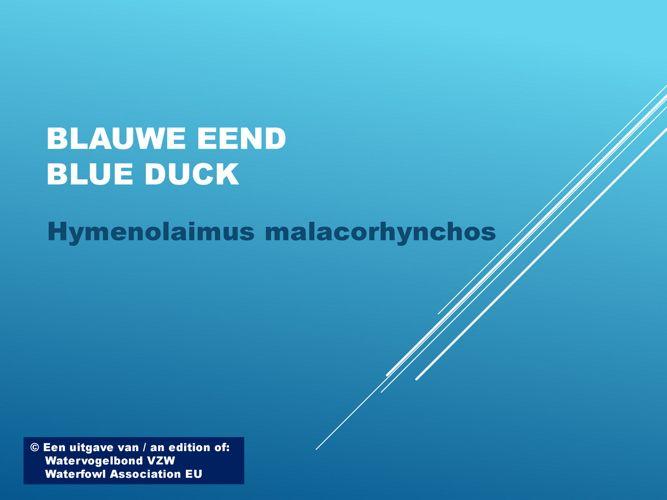 Blauwe eend - Blue duck