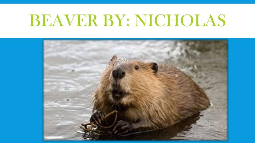 Beaver by Nicholas