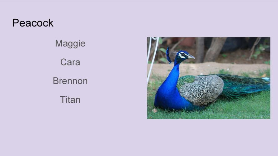 Coates Animal Research - Peacock