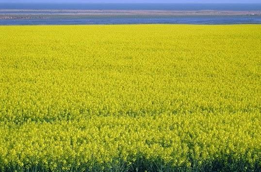 Producţia-de-plante-tehnice-a-depăşit-trei-milioane-de-tone-538x