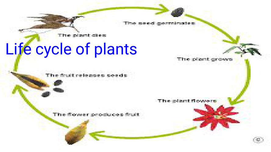 Plant Life Cycle Of Plants By Jamarea and Kevin