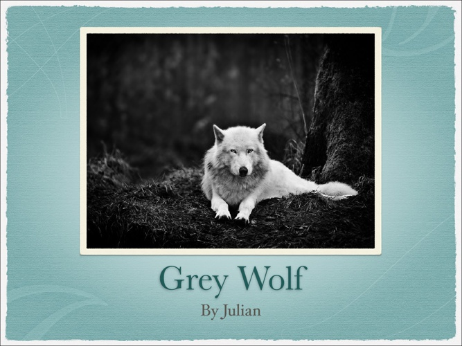 All About Gray Wolves