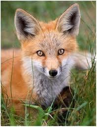 Zorro (Fox)
