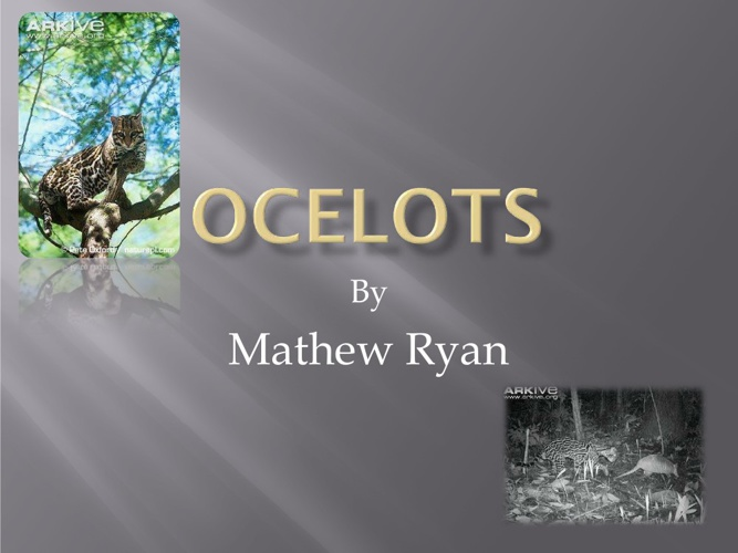 ocelots